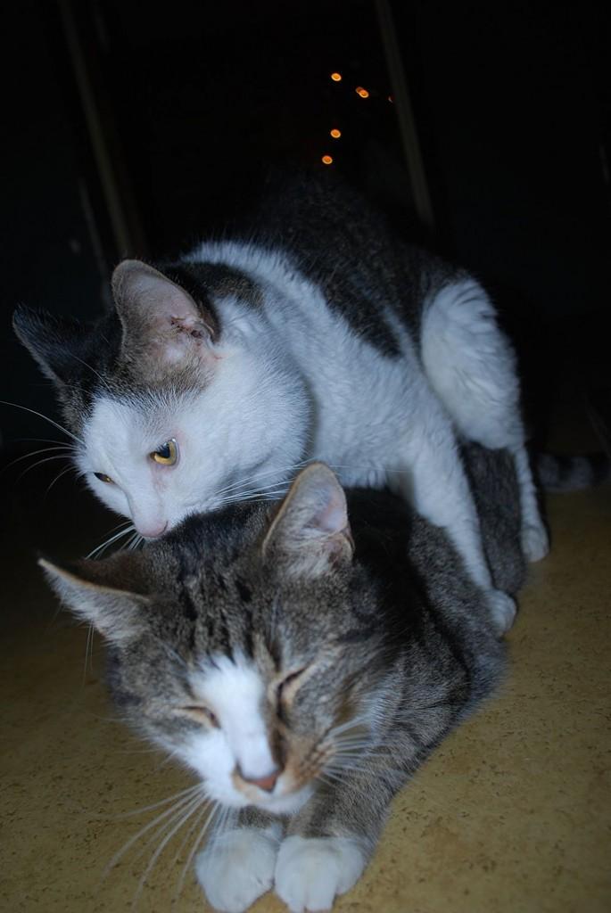 Katt som har sex cats having sex kitty
