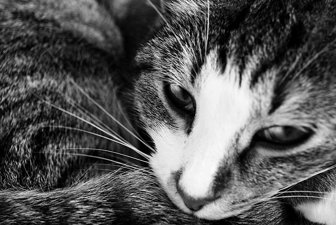 Agnes Katt Cat Greyscale Close-up grayscale black and white