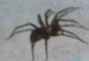 STÖRSTA SPINDELN EVER stor äcklig spindel död