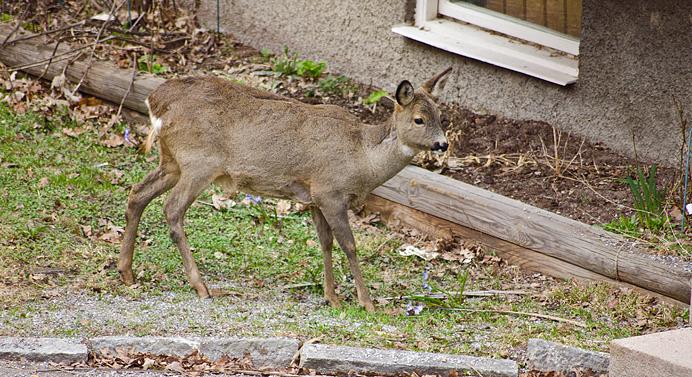 Bambi-rådjur-deer-blommor-äter-eating-flowers