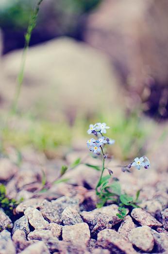 förgätmigej-blomma-forgetmigej