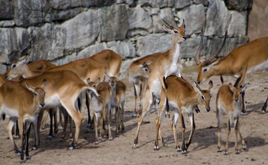 Antilop, antelope sex, kolmården