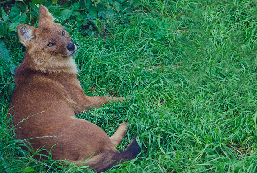 Kolmården vildhund wilddog