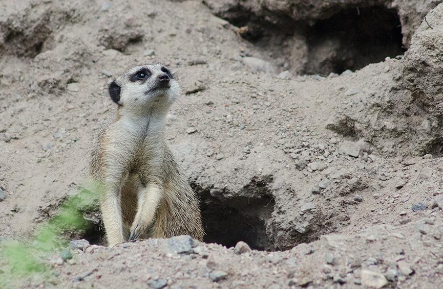 Meerkat, suricate, surikat, Timon kolmården gräver hål