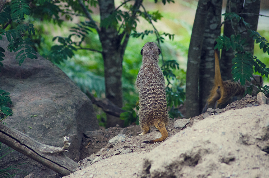 Meerkat, suricate, surikat, Timon kolmården liten
