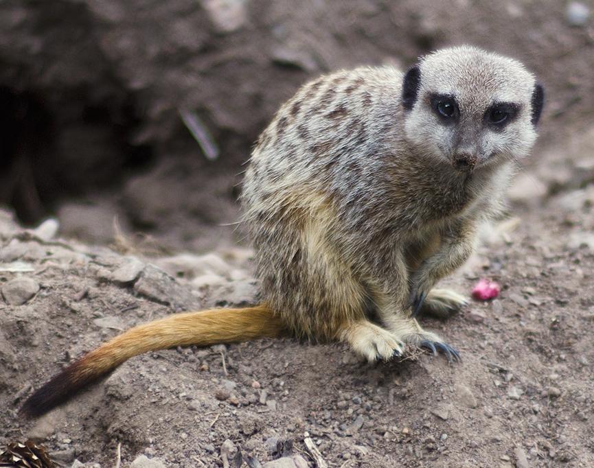Meerkat, suricate, surikat, Timon kolmården mini
