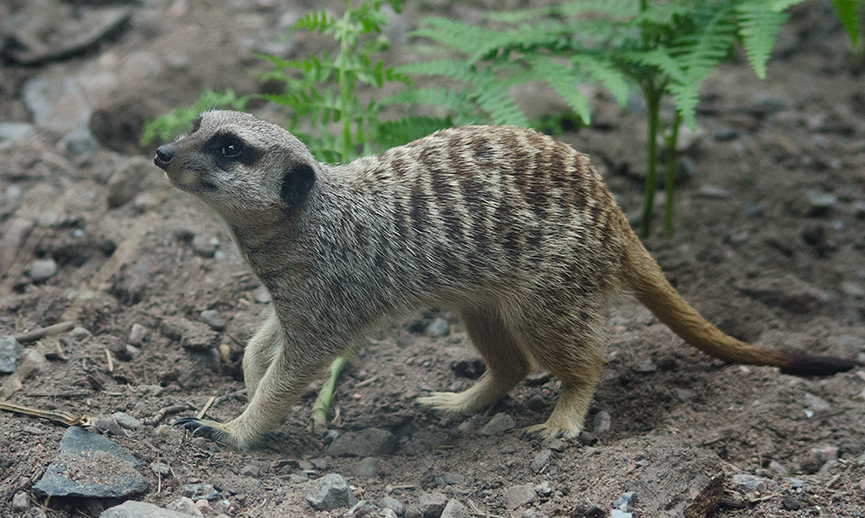 Meerkat, suricate, surikat, Timon kolmården